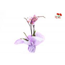 Orquidea Phalaenopsis