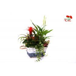 Canastilla de Guzmania, Spatiphillium, Ficus Repens, Fittonia y Kalanchoë
